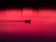 sergio888 - Suvi 2020 - sunset duck